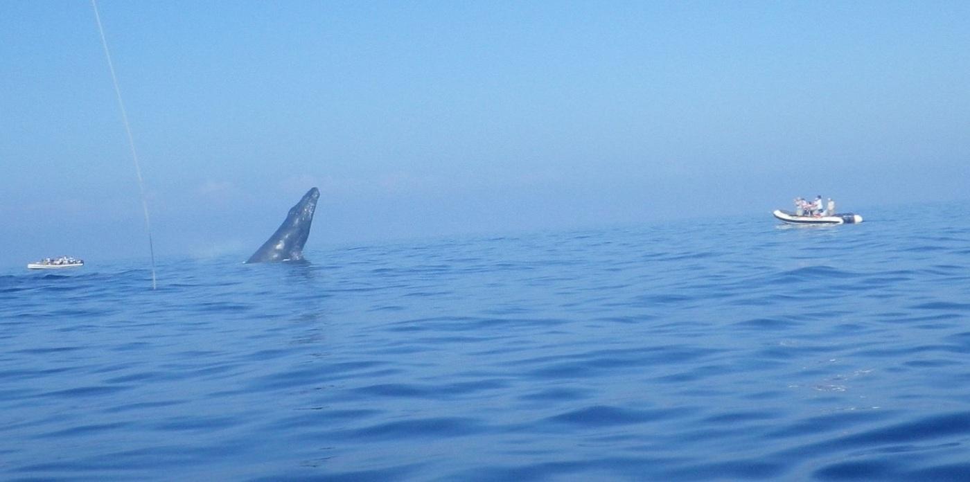 Breaching whale