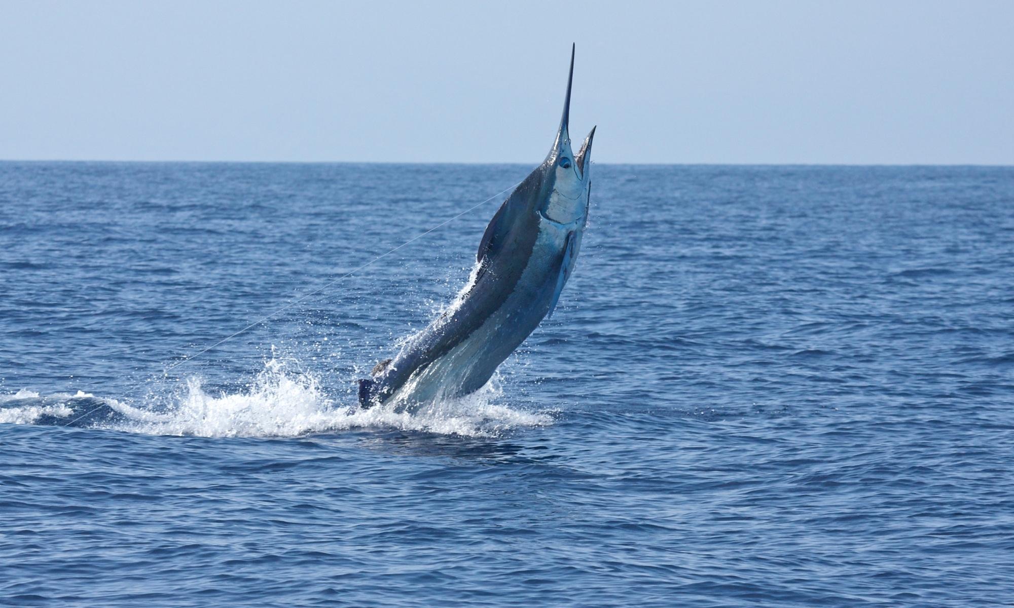 Blue Marlin breaching of Kona Coast