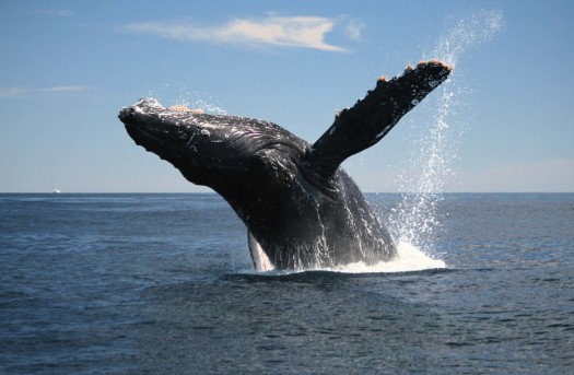 Humback whale breach