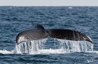 Tail slap on water