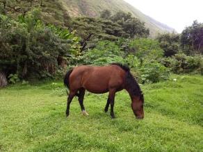 Bay mare grazing