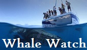 Kailua Kona Whale Watching