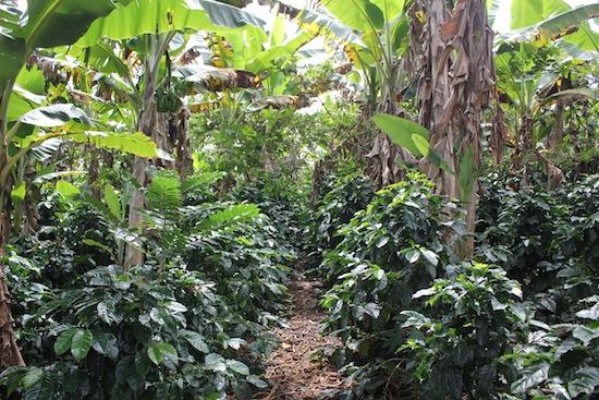Low growing Coffee plant in Kailua Kona Hawaii
