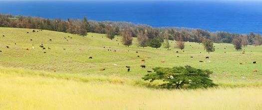 Cattle fields